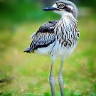 Baby Curlew... by Tracie Louise