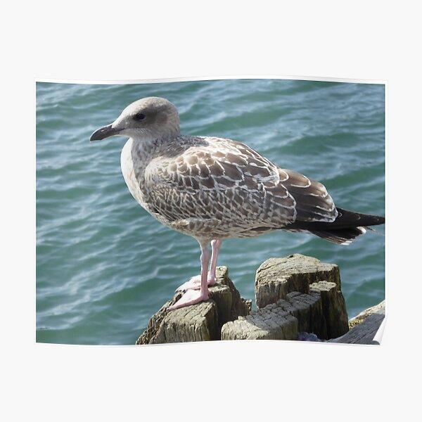 Scarborough Seagull Poster