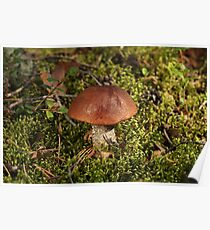 orange-cap boletus Poster
