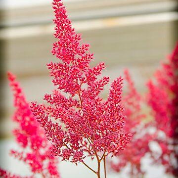 The Beauty Of Pink! by ShirleyTinkham