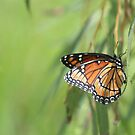 Monarch in the Willow by Bob Hardy