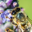 Lavender Bee by Todd Kluczniak