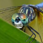 Face Of The Dragonfly by Kathy Baccari