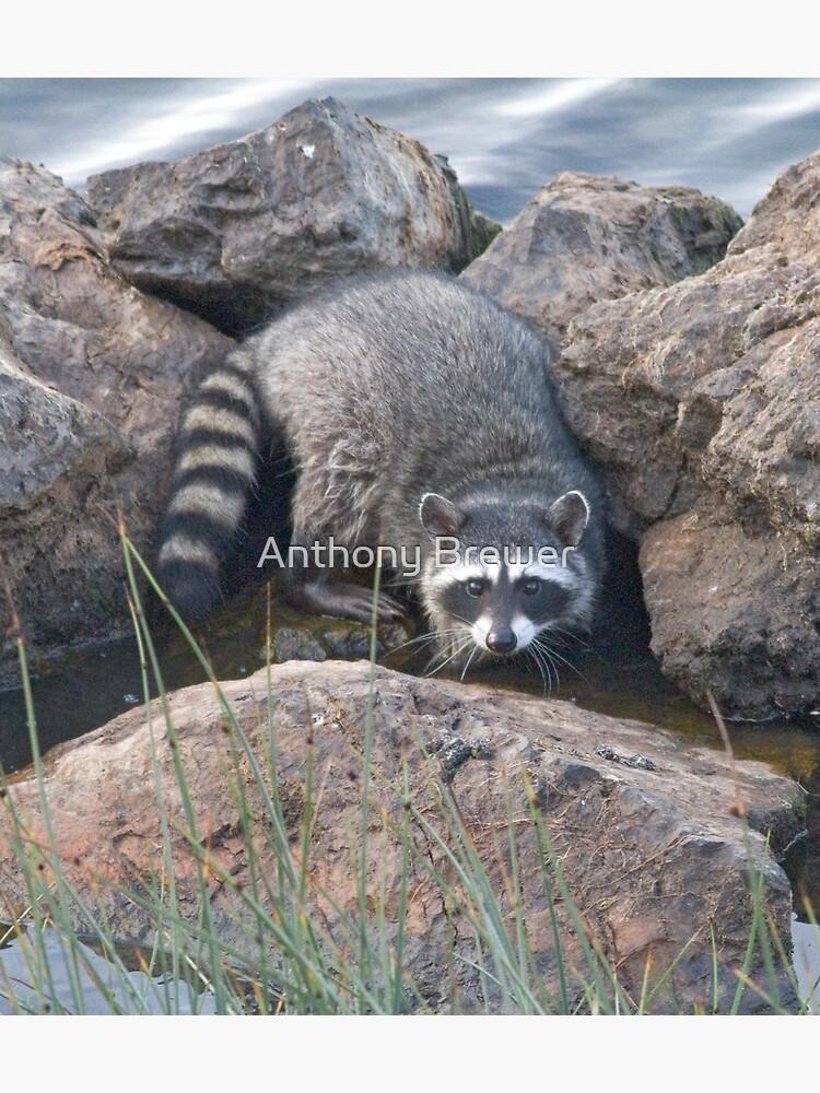 Raccoon on the rocks by dailyanimals