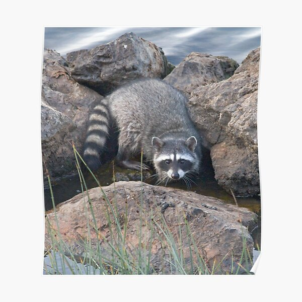 Raccoon on the rocks Poster
