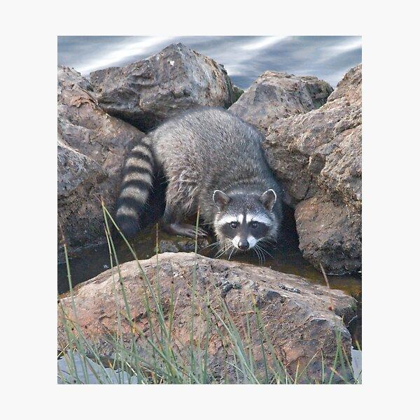 Raccoon on the rocks Photographic Print