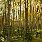 Aspen Grove by Roxanne Persson