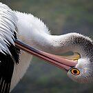 Preening Pelican by Stuart Robertson Reynolds