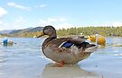 Duck!  Lake Placid New York by Debbie Pinard