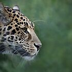 Leopard by Rob Lavoie