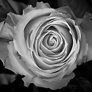 Rose Spirals BW by Bo Insogna