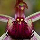 Caladenia oenochila Wine-lipped Spider-orchid by David  Piko