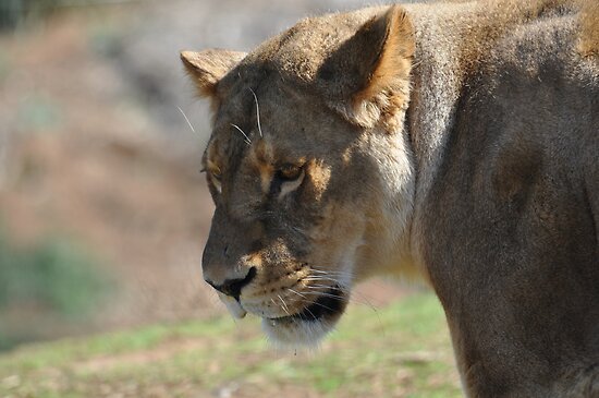 angry lioness - photo #25