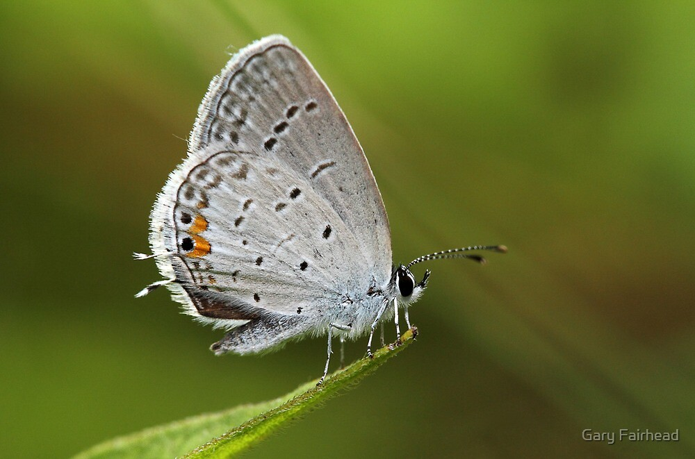 Eastern Tailed Blue Butterfly by Gary Fairhead