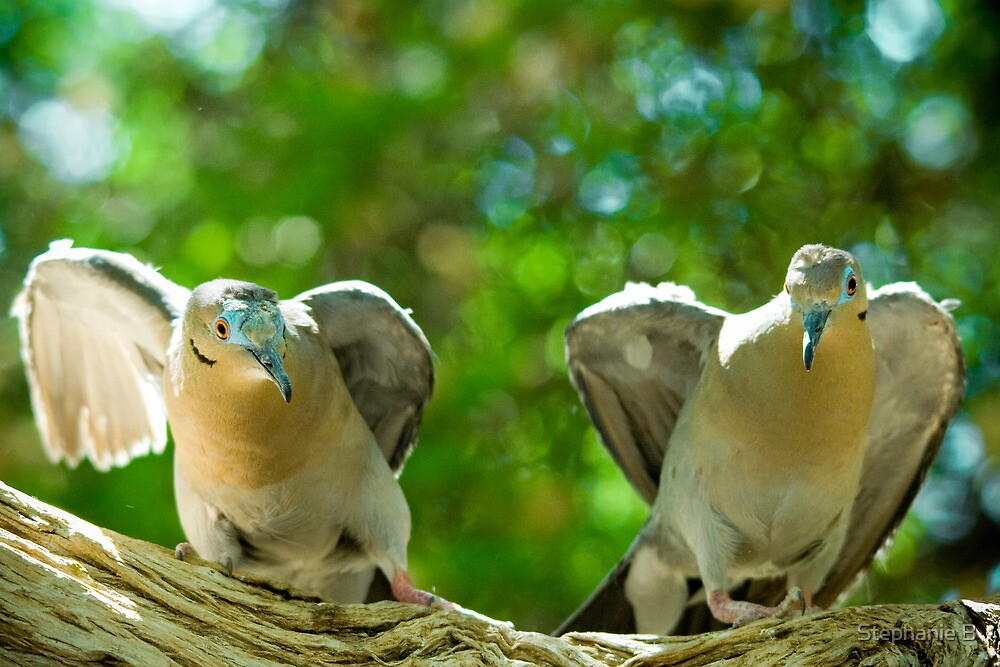 Dove Fight by Stephanie B