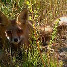 Shady Fox by James Anderson