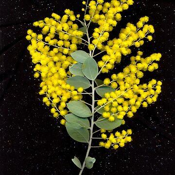 Wattle, flower scan. by KirstenSpry