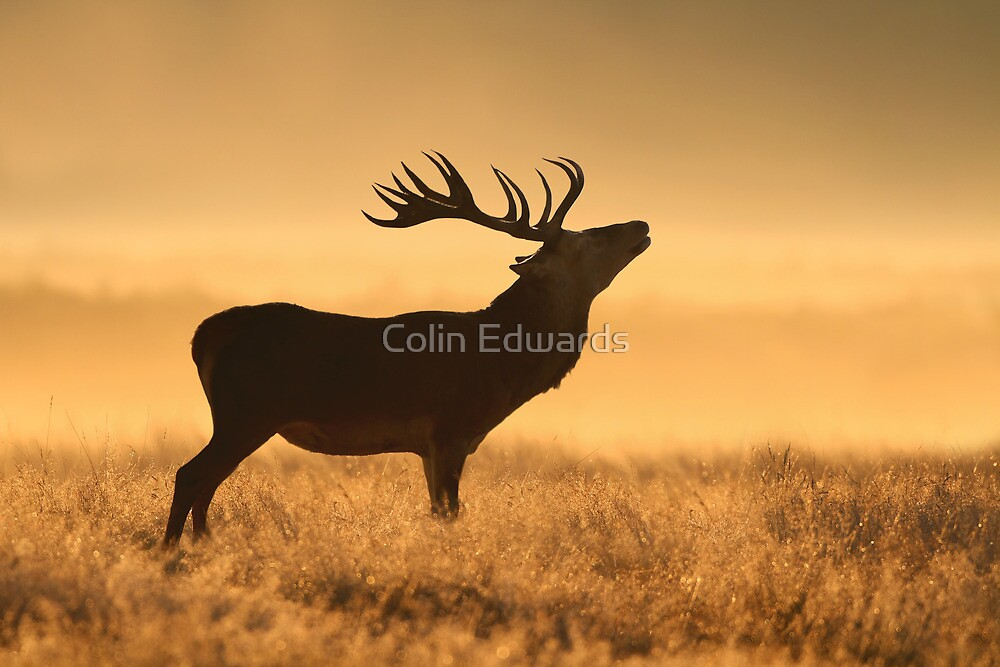 Morning Stag by Colin Edwards