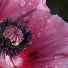 Three flowers: Red - The poppy weeps by Jan Szafranski