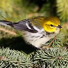 Black throated Green Warbler by Dennis Cheeseman