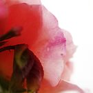 Essence of rose by Agnes McGuinness