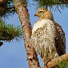 Regal Hawk by John Absher