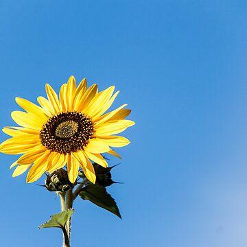 sun flower by were