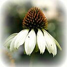Echinacea Purpurea Alba by hanslittel