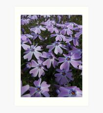 Phlox in Bloom Take 1 Art Print