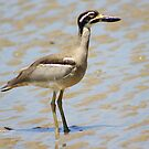 The Beach Stone Curlew by robmac
