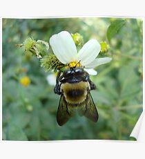 Bumblebee on Bidens alba (Spanish Needles) Poster