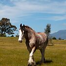 Grampians Clydesdale by Janette Rodgers