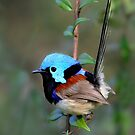 Variegated Fairy-wren by DIZZYHEIGHTS