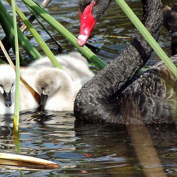 New Cygnets 3 by smallfox