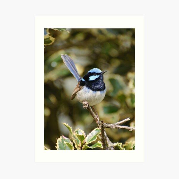 Superb Fairy Wren (male) Art Print