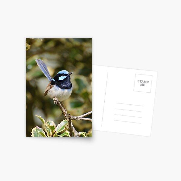 Superb Fairy Wren (male) Postcard
