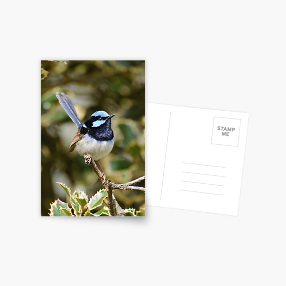 Superb Fairy Wren (male) Postcard