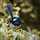 Superb Fairy Wren  by Dilshara Hill