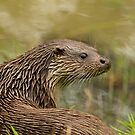 Otter by Val Saxby