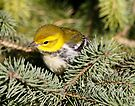 Black throat green warbler by Dennis Cheeseman