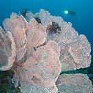 Giant sea fan by Stephen Colquitt