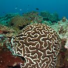 Brain coral by Stephen Colquitt