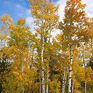 Colorado Autmn Aspens by Bo Insogna