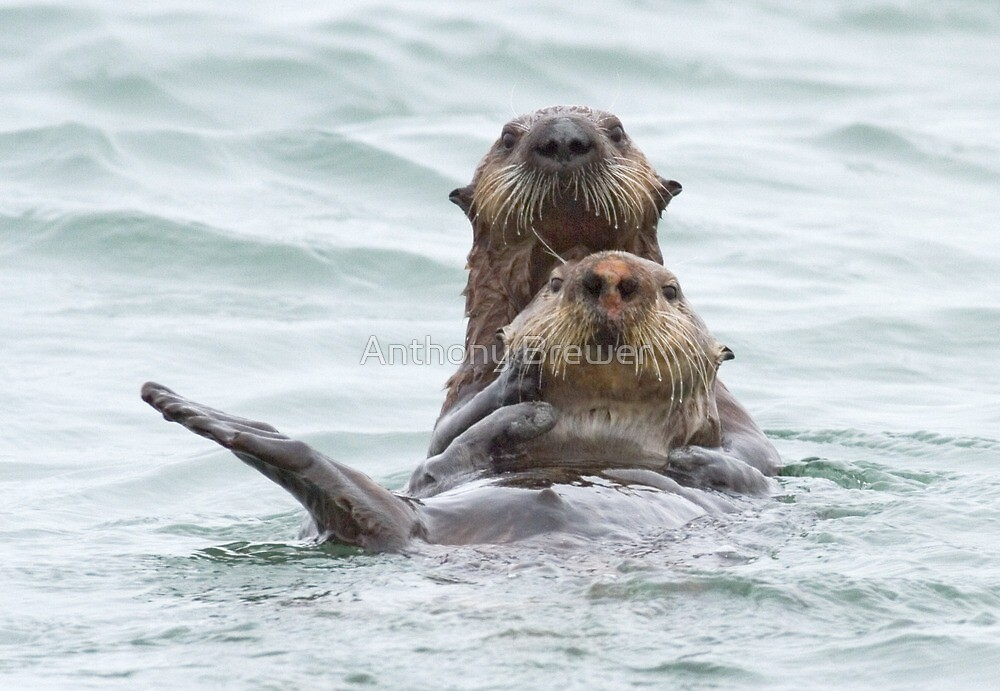 Two otters for the price of one by Anthony Brewer