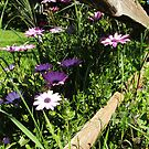 African Daisies in the Fence-row by Amiteestoo