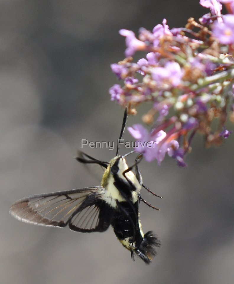 flowers and hummingbird moth by Penny Fawver