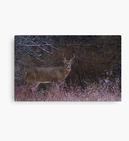 Snowy Buck - White-tailed deer Canvas Print