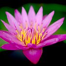Pinky Waterlily by Rainy