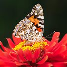 PAINTED LADY IN RED by mc27