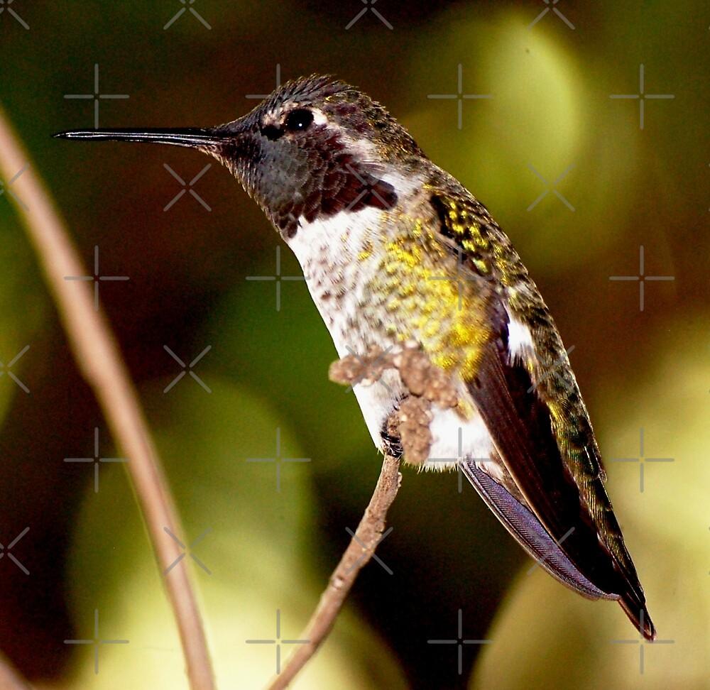 Anna's Hummingbird N1 by loiteke